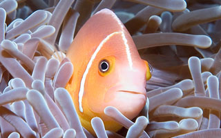 Diving Clown Fish+Espiritu Santo